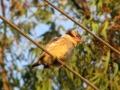 2009-1223-033-bahirdar-stripedkingfisher